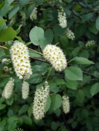 Prunus virginiana - Chokecherry@BoulderCO 2006may12 LAH 00r7