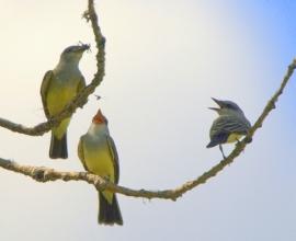 Western Kingbirds_Barr Lake SP-CO_LAH_5240-1