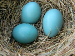 American_Robin_Eggs_in_Nest - wikicommons
