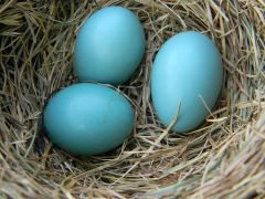 American_Robin_Eggs_in_Nest - wikicommons