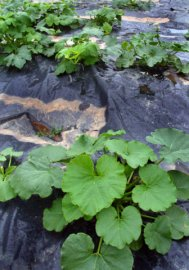 Black Plastic mulch & squash @CSU LAH 062