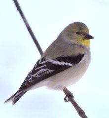 American Goldfinch_LaVeta-CO_LAH_5761