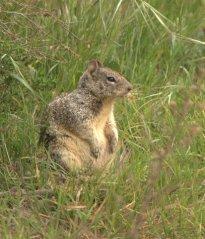 California Ground Squirrel_ShorelinePark-MtView-CA_LAH_8948