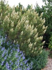 Chamaebatiaria millefolium - Fernbush @CSUtilXeriscapeGarden 9Aug2006 LAH174r