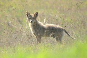 Coyote_MtDiablo-CA_LAH