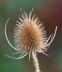 Dipsacus fullonum_Common Teasel_FCNC-CO_LAH_1041