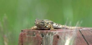 Lizard_SantaTeresaPark-SanJose-CA_LAH_1299