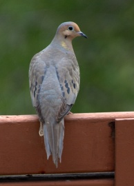 Mourning Dove_FCNC-CO_LAH_0385.nef