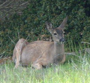 Mule deer_LAH_
