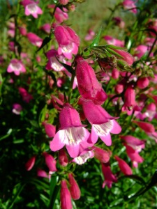 Penstemon 'Red Rocks' @ExtDemoGarden 2008sept25 LAH 264