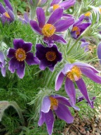 Pulsatilla sp - Pasque Flower @DBG LAH 012