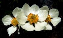 Trollius - Globeflower @CottonwoodPass_2008jul14_LAH_066r
