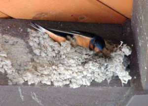 Barn Swallow nest @FCNC PLH 031
