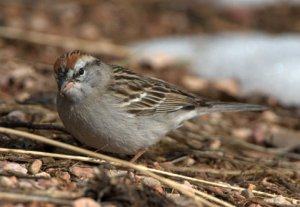 Chipping Sparrow_BlkForest_20100424_LAH_3382
