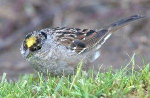 Golden-crowned Sparrow_CosumnesRiverPreserve-CA_LAH_0261