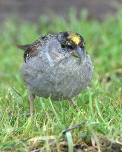 Golden-crowned Sparrow_CosumnesRiverPreserve-CA_LAH_0312