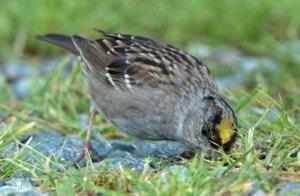 Golden-crowned Sparrow_CosumnesRiverPreserve-CA_LAH_0321