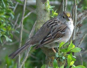 Golden-crowned Sparrow_CosumnesRiverPreserve-CA_LAH_0338