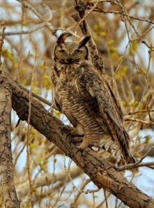 Great Horned Owl_ChicoBasinRanch-CO_LAH_9775