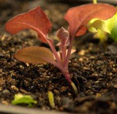 Lettuce seedlings_LAH_9880