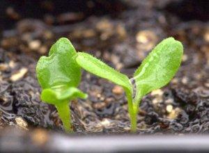 Lettuce seedlings_LAH_9883