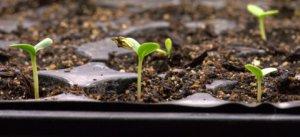 Zinnia seedlings_LAH_9887
