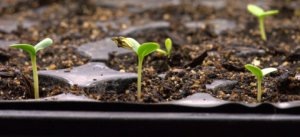 Zinnia seedlings_LAH_9887