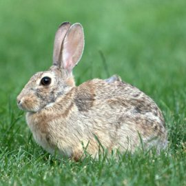 Eastern Cottontail_ColoSpgs_PLH_4023