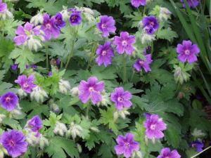 Geranium 'Johnson's Blue' flower