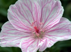 Geranium sanguineum 'Lancastriense'_Bloody Cranesbill_HudsonGardens-CO_LAH_2751