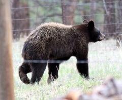 Jeannie's bear