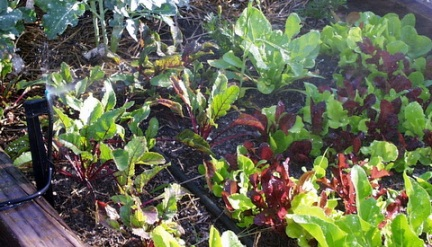 misting lettuce @home LAH 001