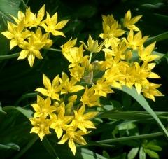 Allium - yellow DBG 1