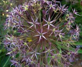 Allium_HAS-CoSpgsCO_LAH_0310