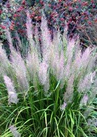 Calamagrostis brachytricha - Feather Reed Grass_LAH_0439