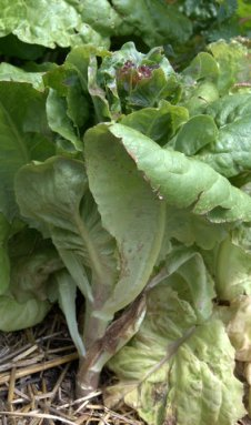 Flowering lettuce_BlkForest-CO_LAH_5932
