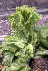 Lettuce - bolted_BlkForest-CO_LAH_5930