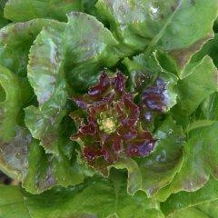 Lettuce flower_BlkForest-CO_LAH_5931
