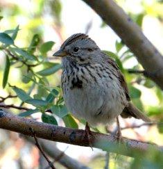 Lincoln's Sparrow_EchoLake-MtEvans_LAH_6138