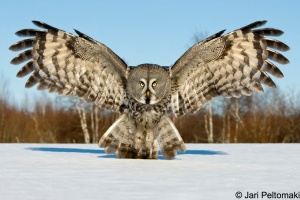 The Handbook of Bird Photography - Owl