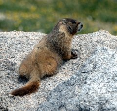 Yellow-bellied Marmot_MtEvans_CO_LAH_6097
