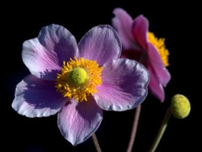 Anemone hupehensis var japonica_Japanese Anemone_BellevueBG-WA_LAH_6758.nef