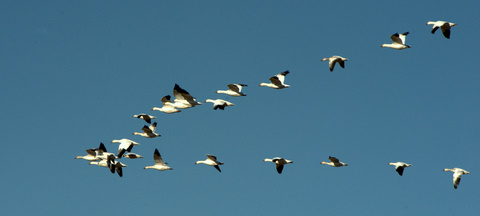 Snow Geese_BosquedelApacheNWR-NM_LAH_6899.nef