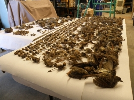Bird carcasses recovered from mining claim pipes in Searchlight, NV. Photo: Christy Klinger, Nevada Dept. of Wildlife.