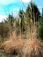 Erianthus ravennae - Ravena Grass dormant @DBG LAH 1