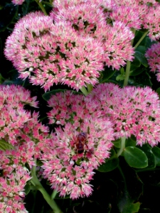 Sedum 'Autumn Joy' @Briargate 10sep05 LAH 089