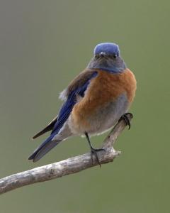 Western Bluebird_2520_f