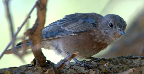 Western Bluebird_TurkeyCreek-FtCarson-CO_LAH_9826