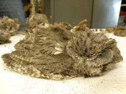 Western Screech-owl recovered from a pipe. Photo: Christy Klinger, Nevada Dept. of Wildlife.