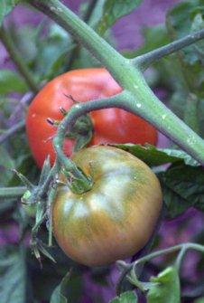 Tomato_DBG_20090915_LAH_0507